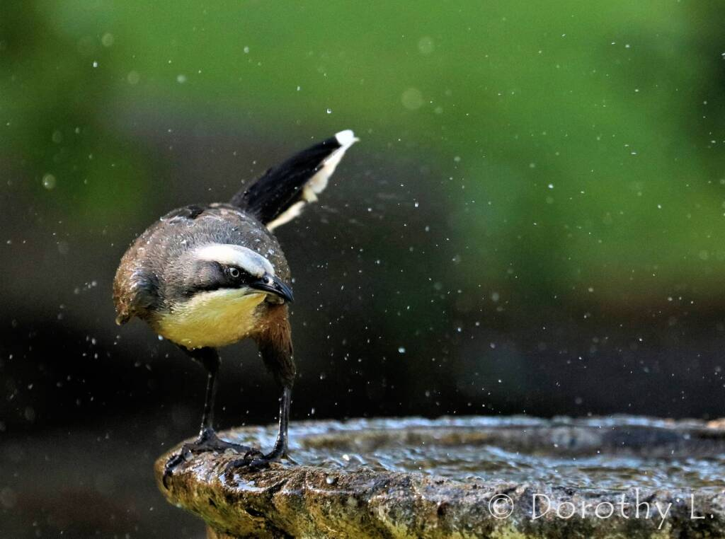 Grey-crowned Babbler (Pomatostomus temporalis)