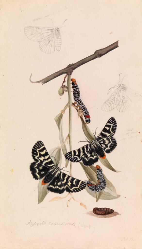 Arthur Bartholomew - Vine moth, Comocrus behri - Google Art Project