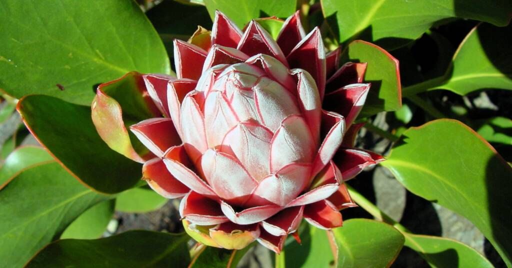 King Protea (Protea cynaroides), (Mt Tomah) Blue Mountains Botanic Garden, NSW