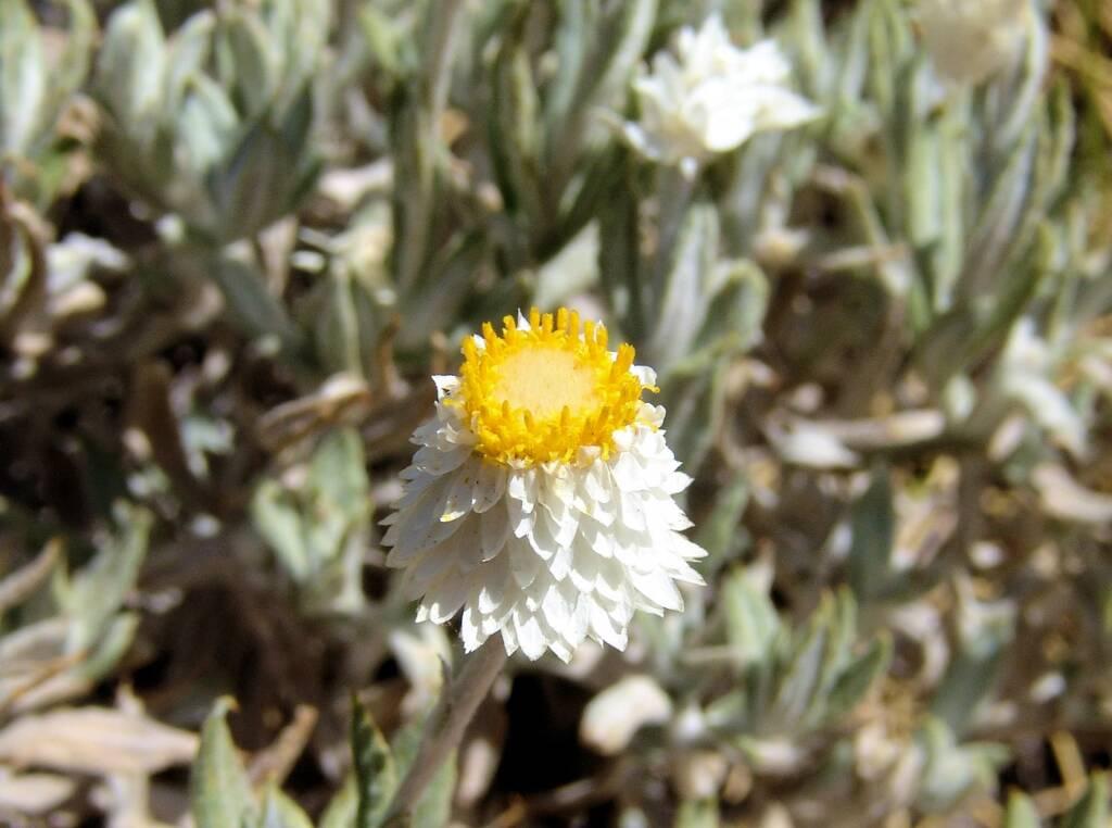Anemocarpa saxatilis, Ormiston Gorge, NT
