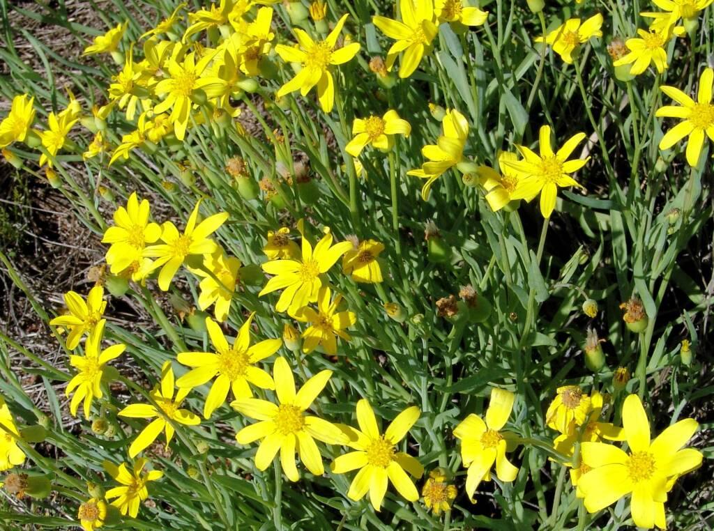 Mass flowering Annual Yellowtop (Senecio gregorii), Central Australia