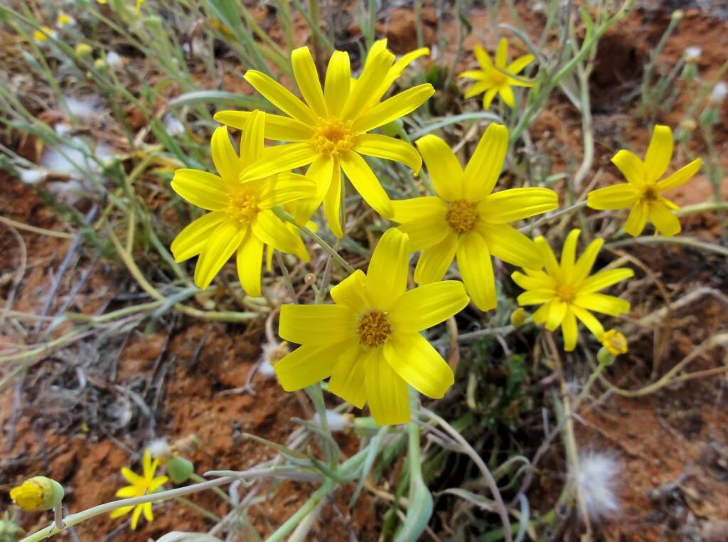 Annual Yellowtop (Senecio gregorii), Binns Track, NT