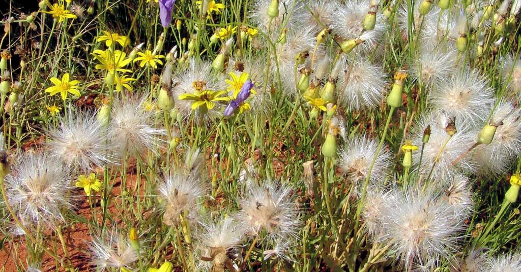 Annual Yellowtop (Senecio gregorii), Alice Springs Desert Park