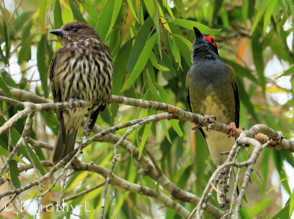 Australasian Figbird (Sphecotheres vieilloti)