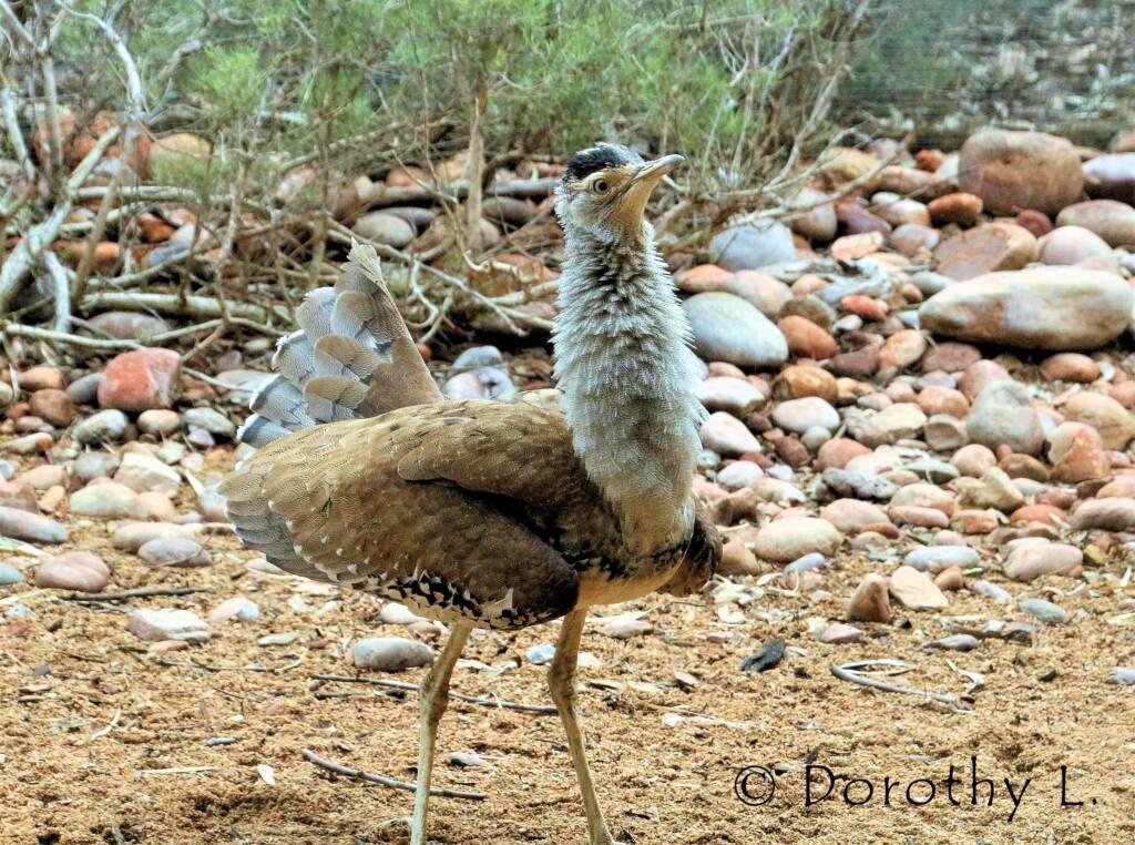 Australian Bustard (Ardeotis australis)