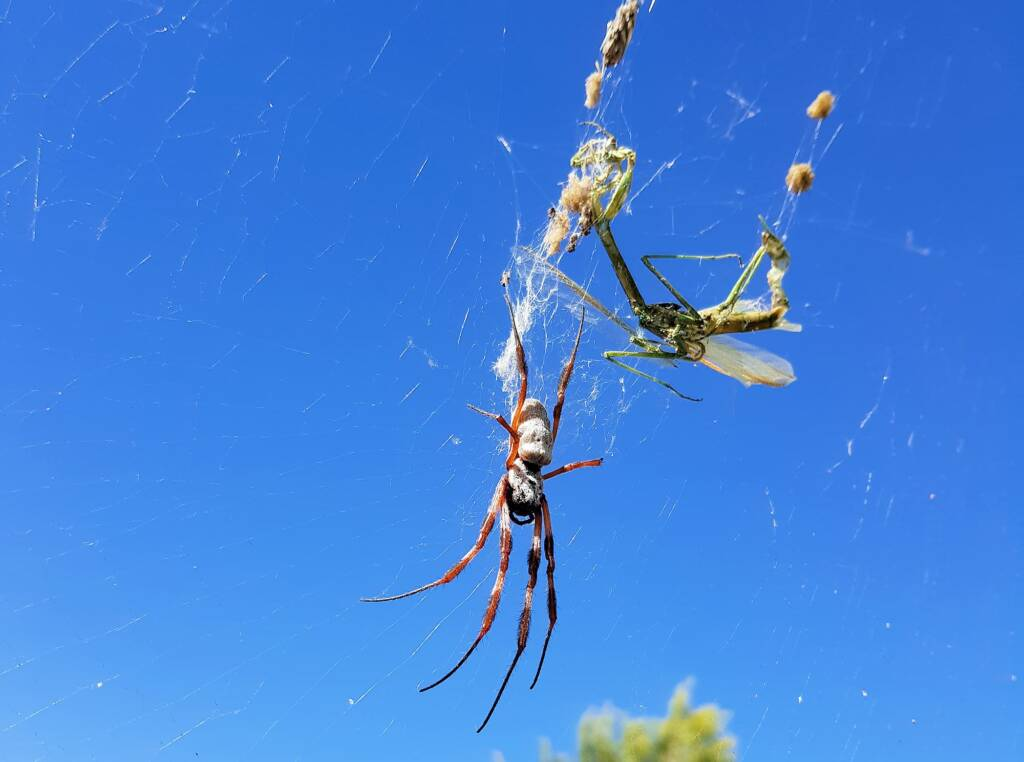 Australian Golden Orb Weaver Spider (Trichonephila edulis)