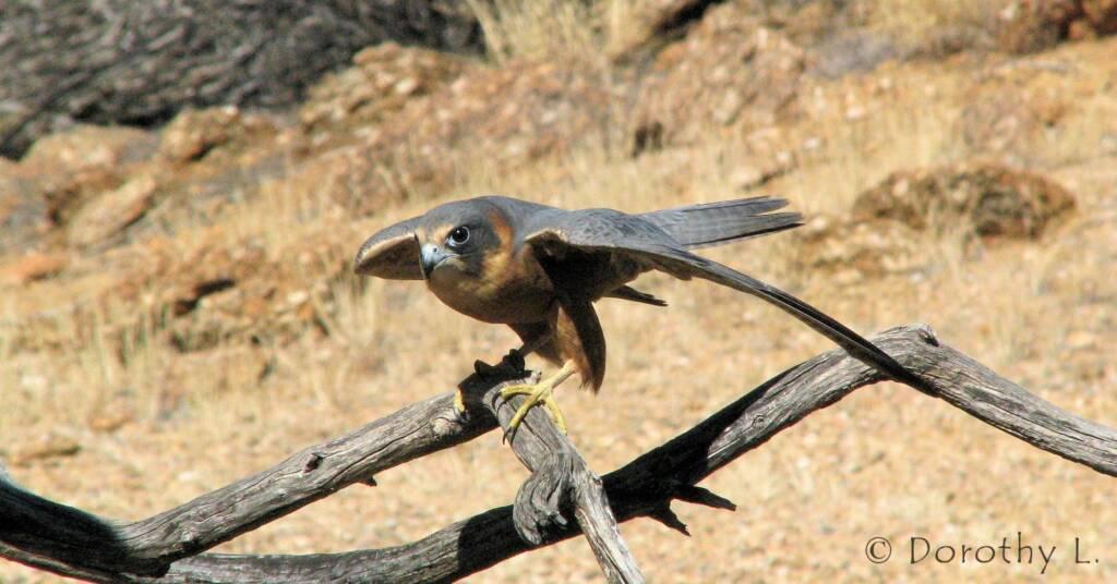 Australian Hobby (Falco longipennis), Free-flying Birds Show, Alice Springs Desert Park