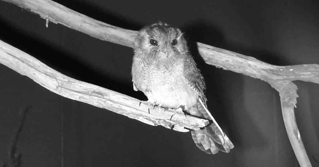 Australian Owlet-nightjar (Aegotheles cristatus), Alice Springs Desert Park