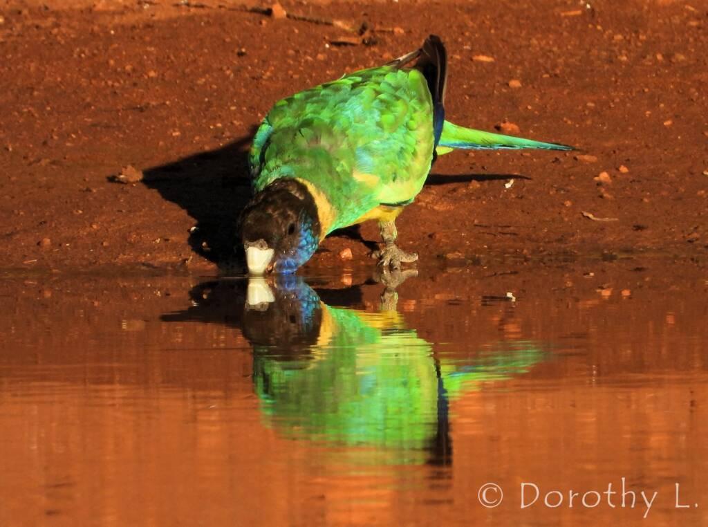 Australian Ringneck (Barnardius zonarius), Kunoth Bore, NT