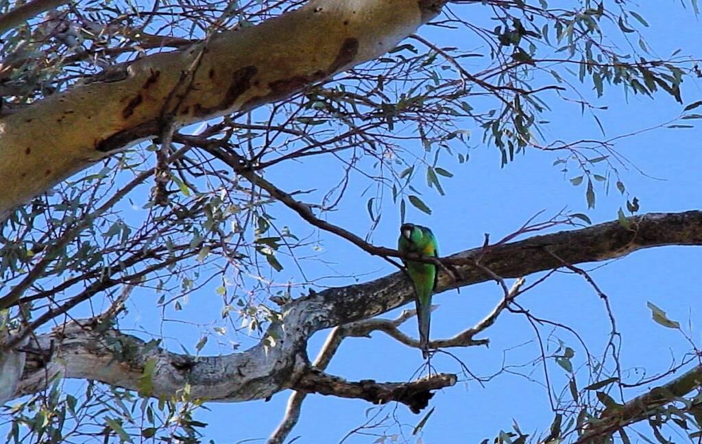 Australian Ringneck in the Giant Red Gum (Eucalyptus camaldulensis), Orroroo, SA