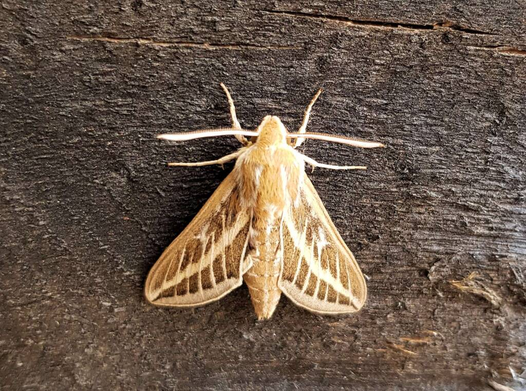 Australian Striped Hawk Moth (Hyles livornicoides)