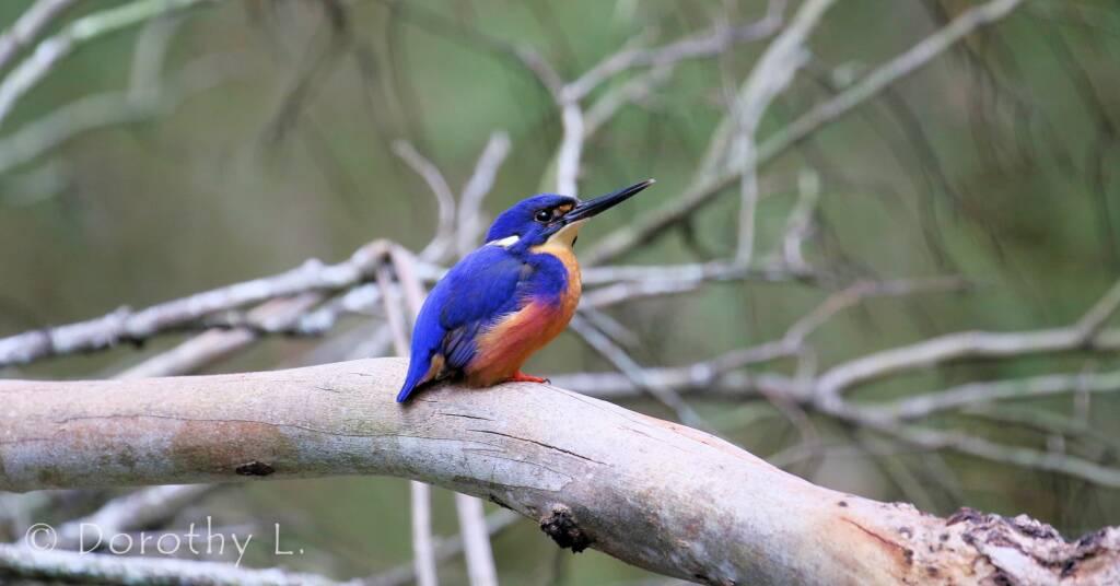 Azure Kingfisher © Dorothy L