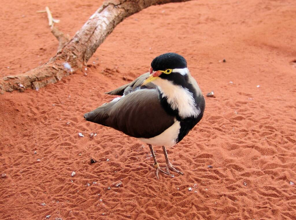 Banded Lapwing (Vanellus tricolor), Alice Springs Desert Park