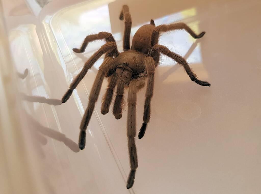 Barking Spider (Selenocosmia stirlingi)