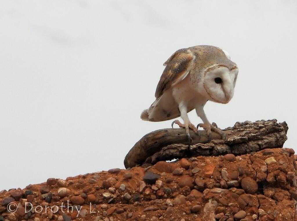 Barn Owl (Tyto alba), Free-flying Birds Show, Alice Springs Desert Park