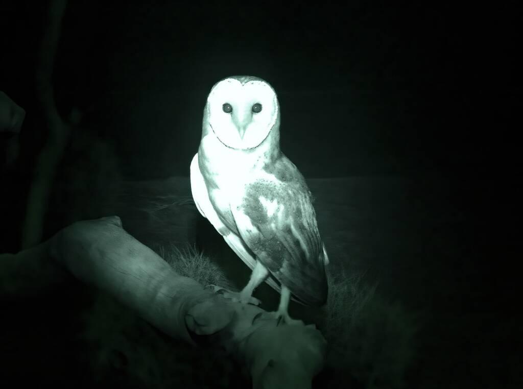 Barn Owl (Tyto alba), Nocturnal House, Alice Springs Desert Park, NT