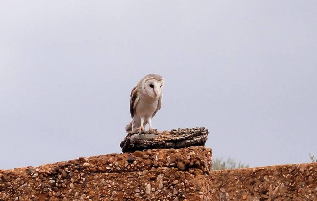 Barn Owl (Tyto alba), Alice Springs Desert Park