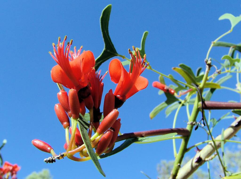 Bat's Wing Coral Tree (Erythrina vespertilio)