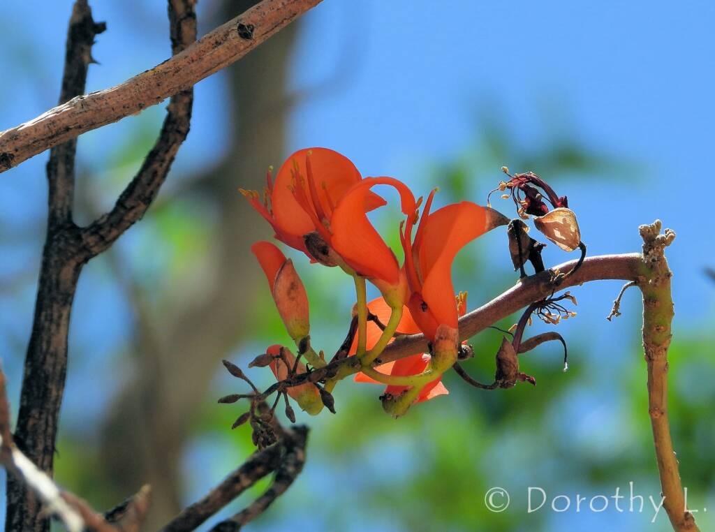 Bean Tree (Erythrina vespertilio), Alice Springs Desert Park