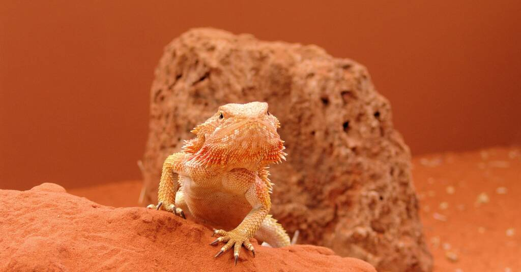 Central Bearded Dragon (Pogona vitticeps)