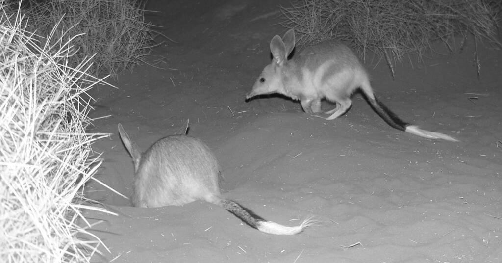 Greater Bilby (Macrotis lagotis), Alice Springs Desert Park