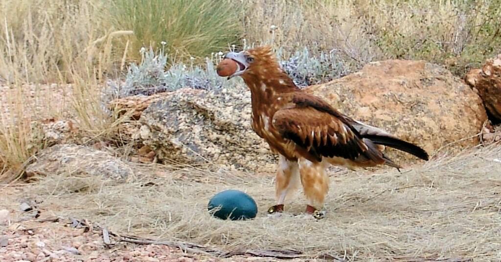 Black-breasted Buzzard (Hamirostra melanosternon), Alice Springs Desert Park