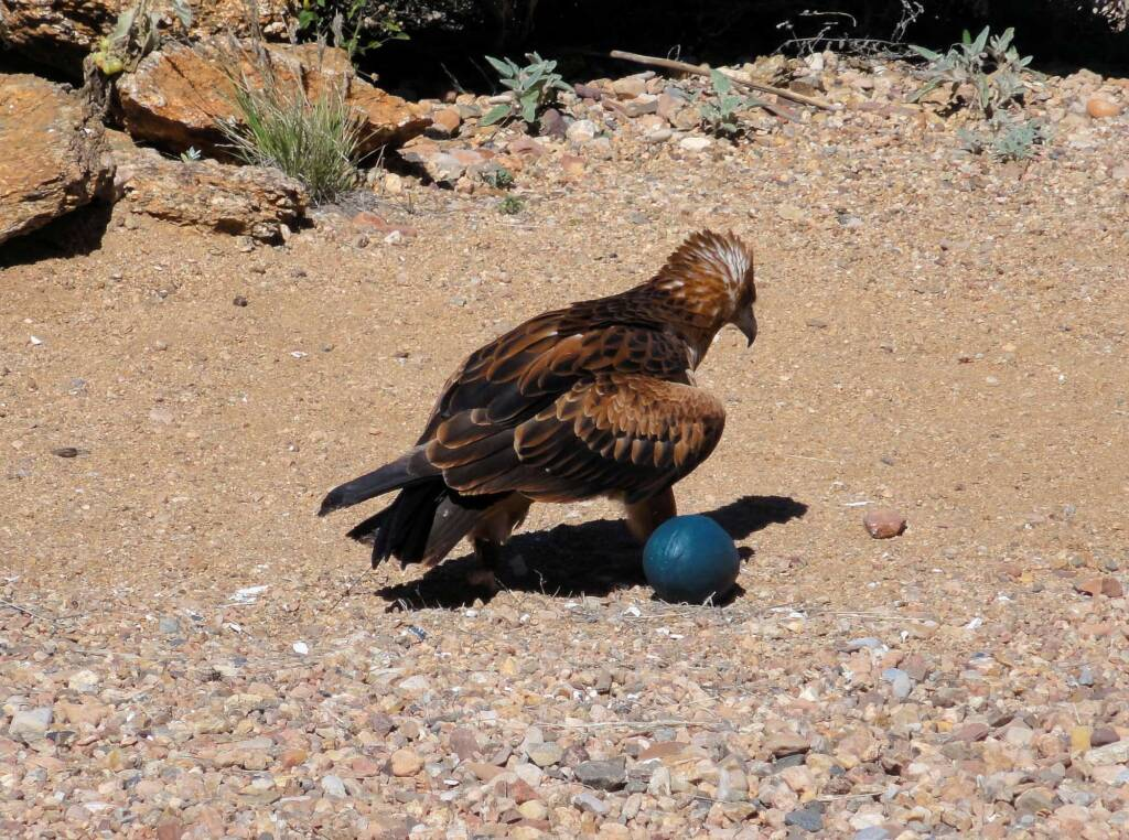 Black-breasted Buzzard (Hamirostra melanosternon) - Free-flying Birds Show, Alice Springs Desert Park