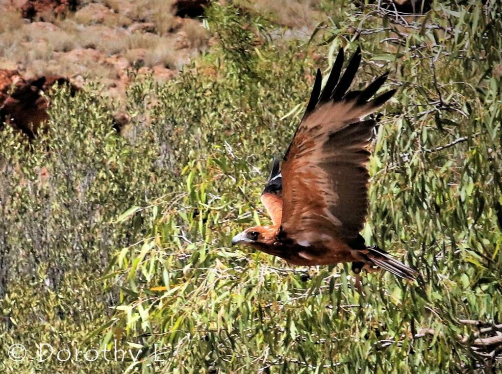 Black-breasted Buzzard (Hamirostra melanosternon)