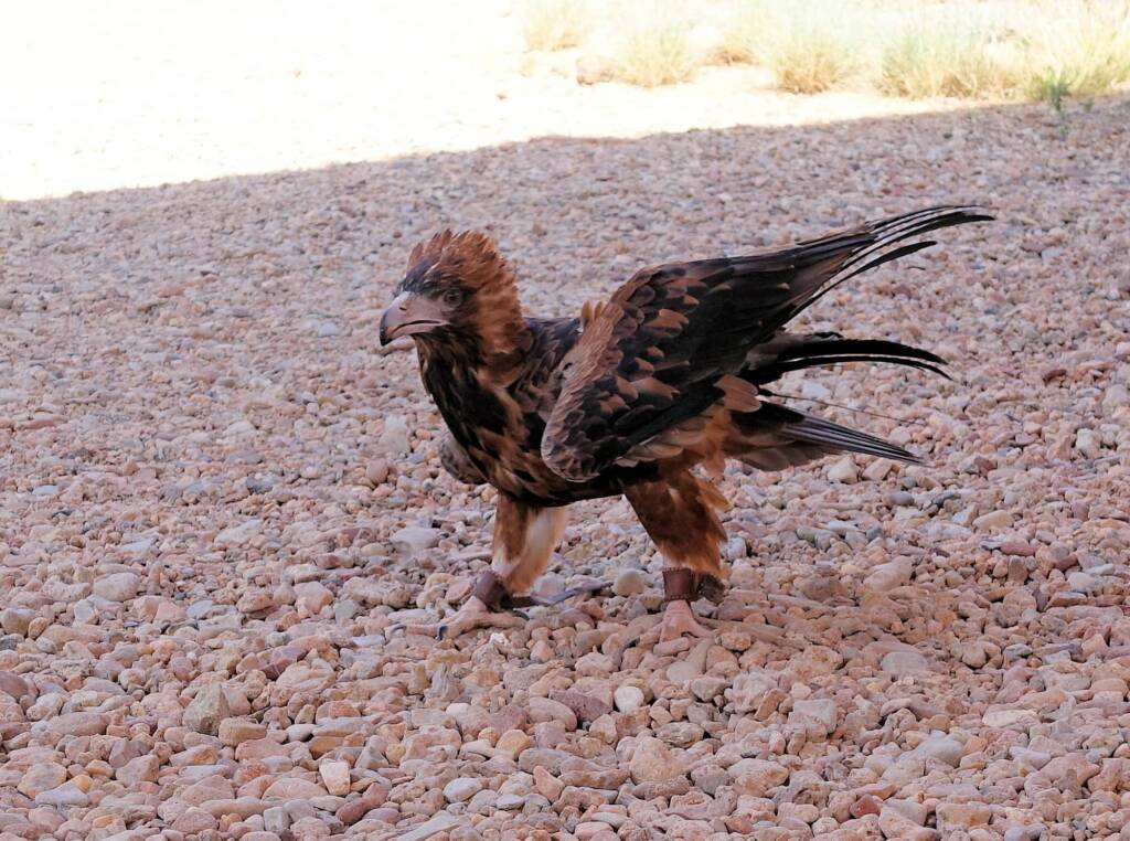 Black-breasted Buzzard (Hamirostra melanosternon) - Birds of Prey Show, Alice Springs Desert Park