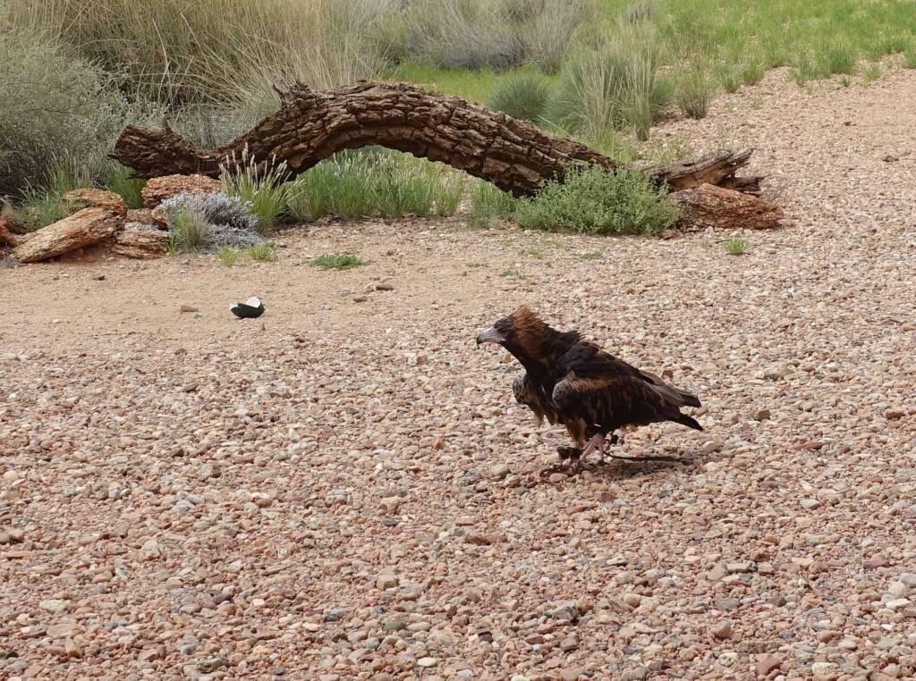 Black-breasted Buzzard (Hamirostra melanosternon) - Bird of Prey Show, Alice Springs Desert Park