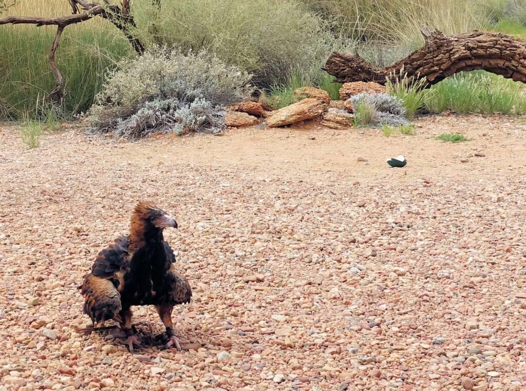 melanosternon) - Birds of Prey Show, Alice Springs Desert Park