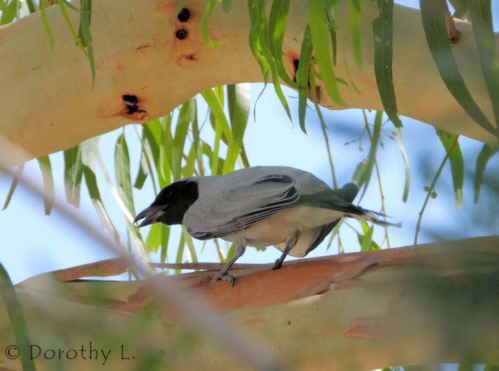 Black-faced Cuckooshrike (Coracina novaehollandiae)