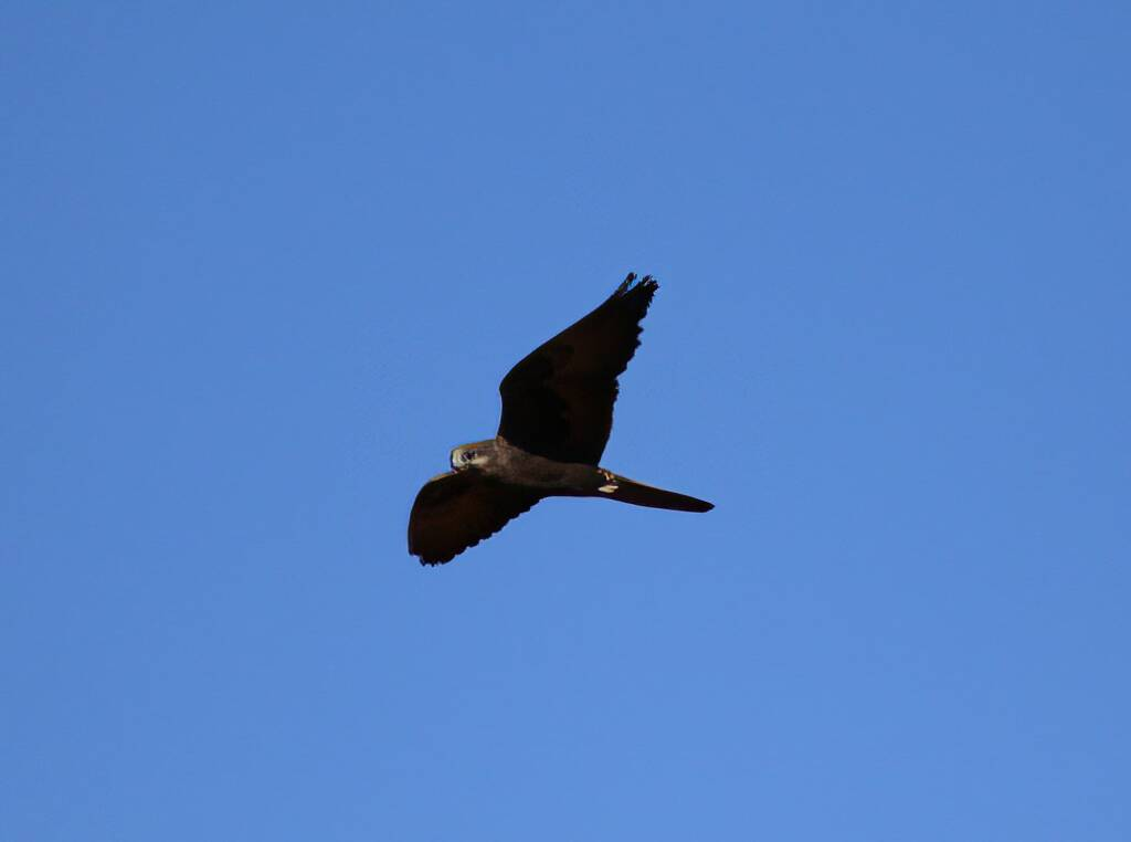 Outline of the Black Falcon (Falco subniger), Central Australia