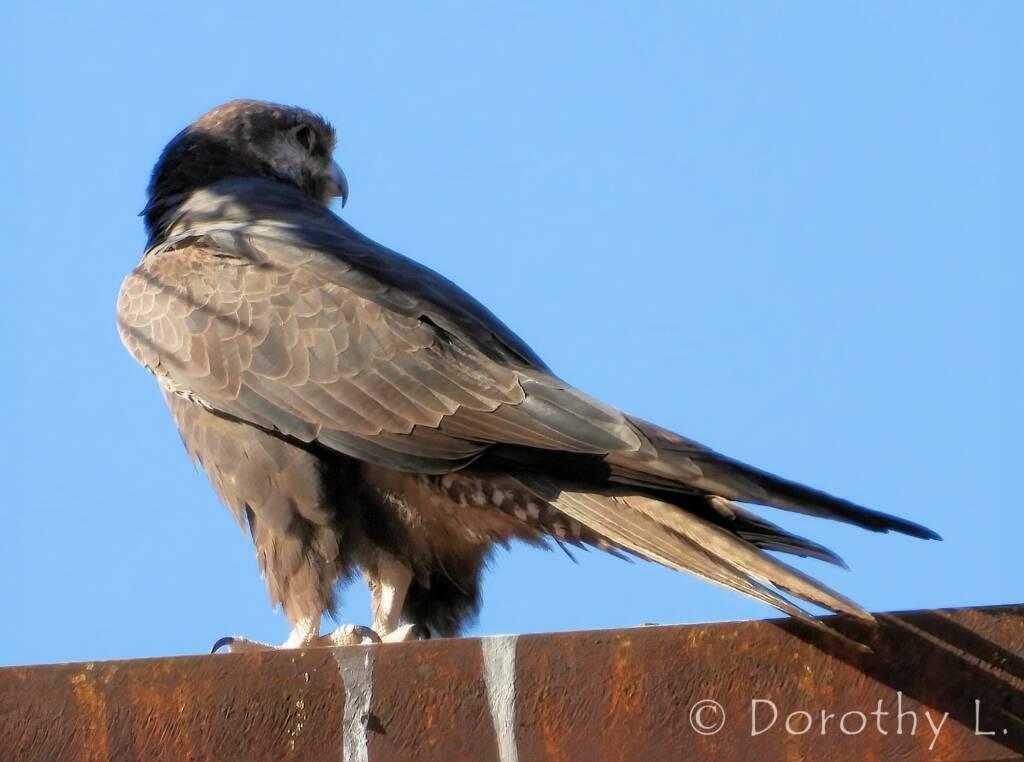 Black Falcon (Falco subniger), Central Australia