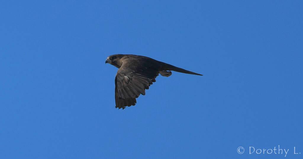 Black Falcon (Falco subniger)