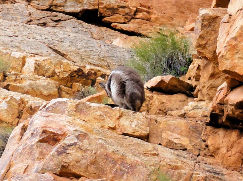 Black-footed Rock Wallaby, Ormiston Gorge
