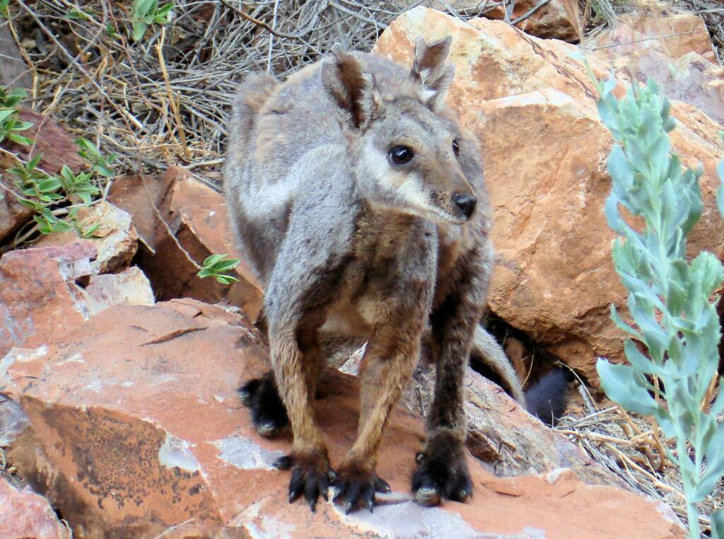 Black-footed Rock Wallaby, Simpsons Gap