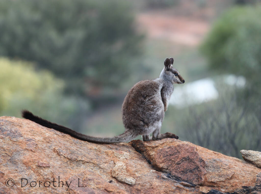Black-footed Rock Wallaby, Olive Pink Botanic Garden