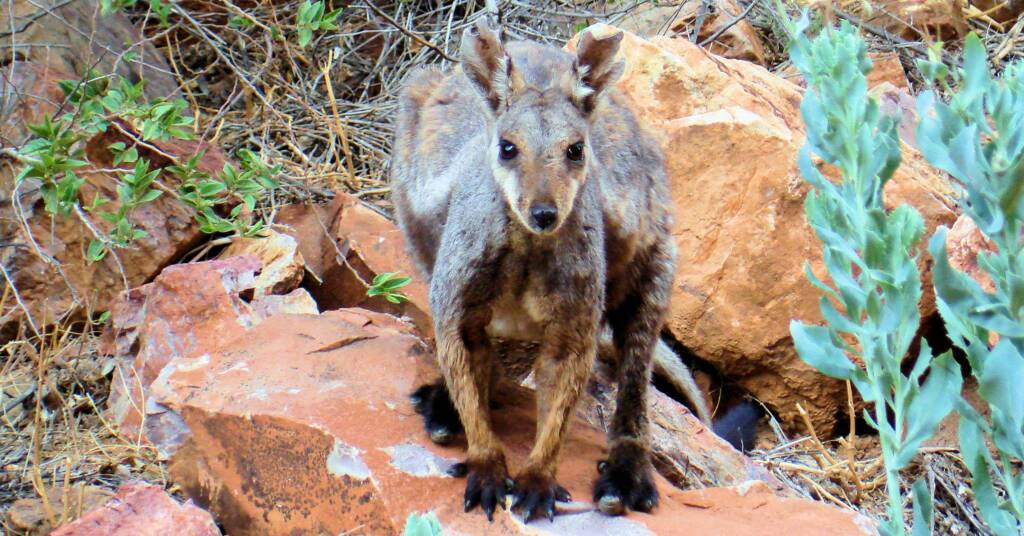 Black-footed Rock Wallaby at Simpsons Gap, West MacDonnell Ranges, NT