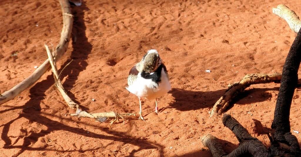 Black-fronted Dotterel (Elseyornis melanops), Alice Springs Desert Park