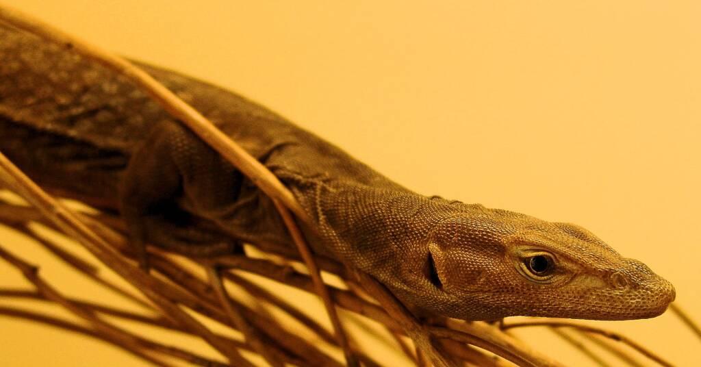 Black Headed Goanna (Varanus tristis), Alice Springs Reptile Centre