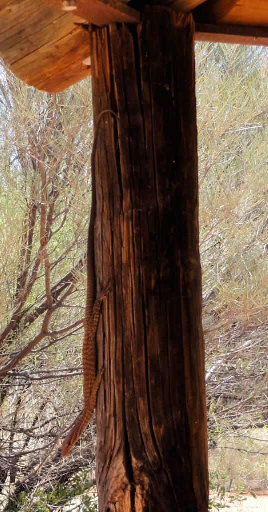 Black Headed Goanna (Varanus tristis), Palm Valley, Central Australia
