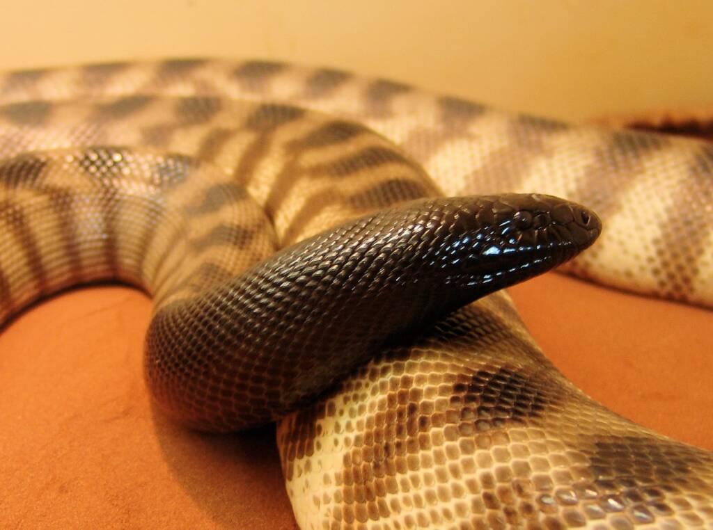 Black-headed Python (Aspidites melanocephalus), Alice Springs Reptile Centre