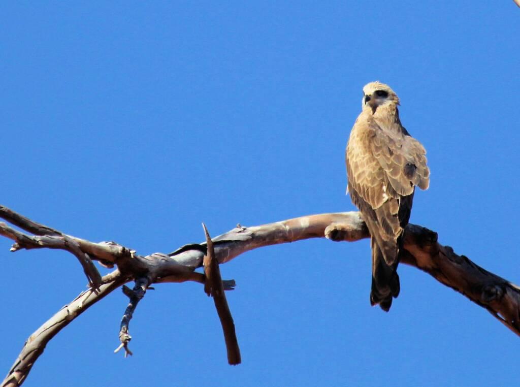 Black Kite (Milvus migrans), Owen Springs, NT © Greg Sully