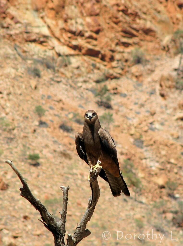 Black Kite (Milvus migrans) - Birds of Prey Show, Alice Springs Desert Park