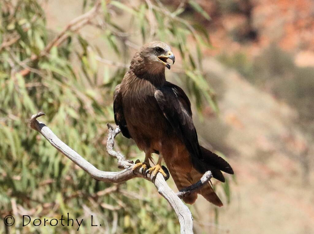 Black Kite (Milvus migrans) - Free-flying Birds Show, Alice Springs Desert Park