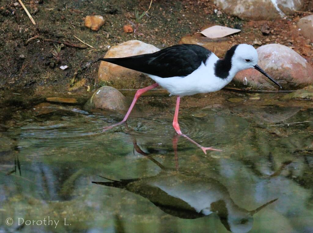 Black-necked Stilt (Himantopus leucocephalus)