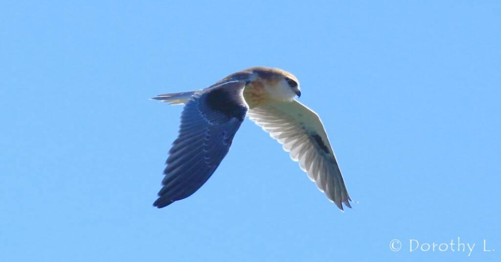 Black-shouldered Kite (Elanus axillaris), Alice Springs, NT