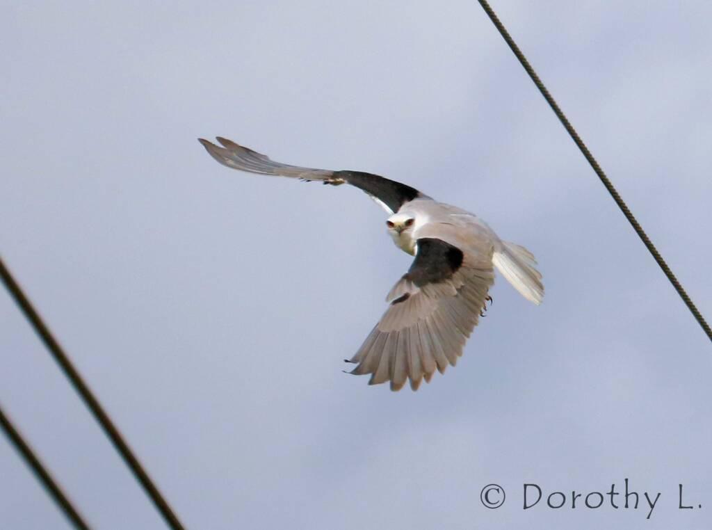 Black-shouldered Kite (Elanus axillaris)