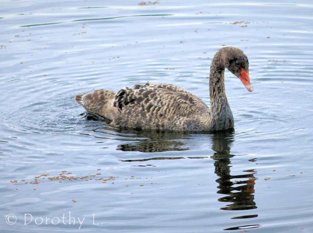 Black Swan (Cygnus atratus) cygnet